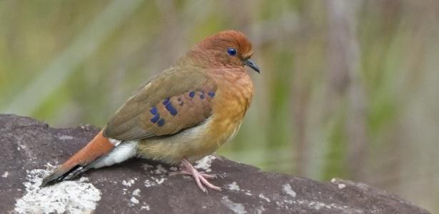 Considerada uma das aves mais rara do mundo, a brasileira rolinha-do-planalto (Columbina cyanopis) foi redescoberta por um grupo pesquisadores em 2016, após 75 anos sem ser vista na natureza - Save Brasil/Divulgação
