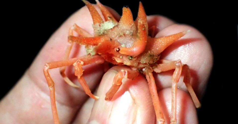 CARANGUEJOS EXÓTICOS - Uma expedição nas águas profundas da ilha indonésia de Java realizada por uma equipe da NUS (Universidade Nacional de Singapura) e do Instituto Indonésio de Ciências  descobriu uma dezena de novas espécies exóticas. Um caranguejo eremita, um camarão de olhos brilhantes e um caranguejo com espinhos difusos estão entre as descobertas