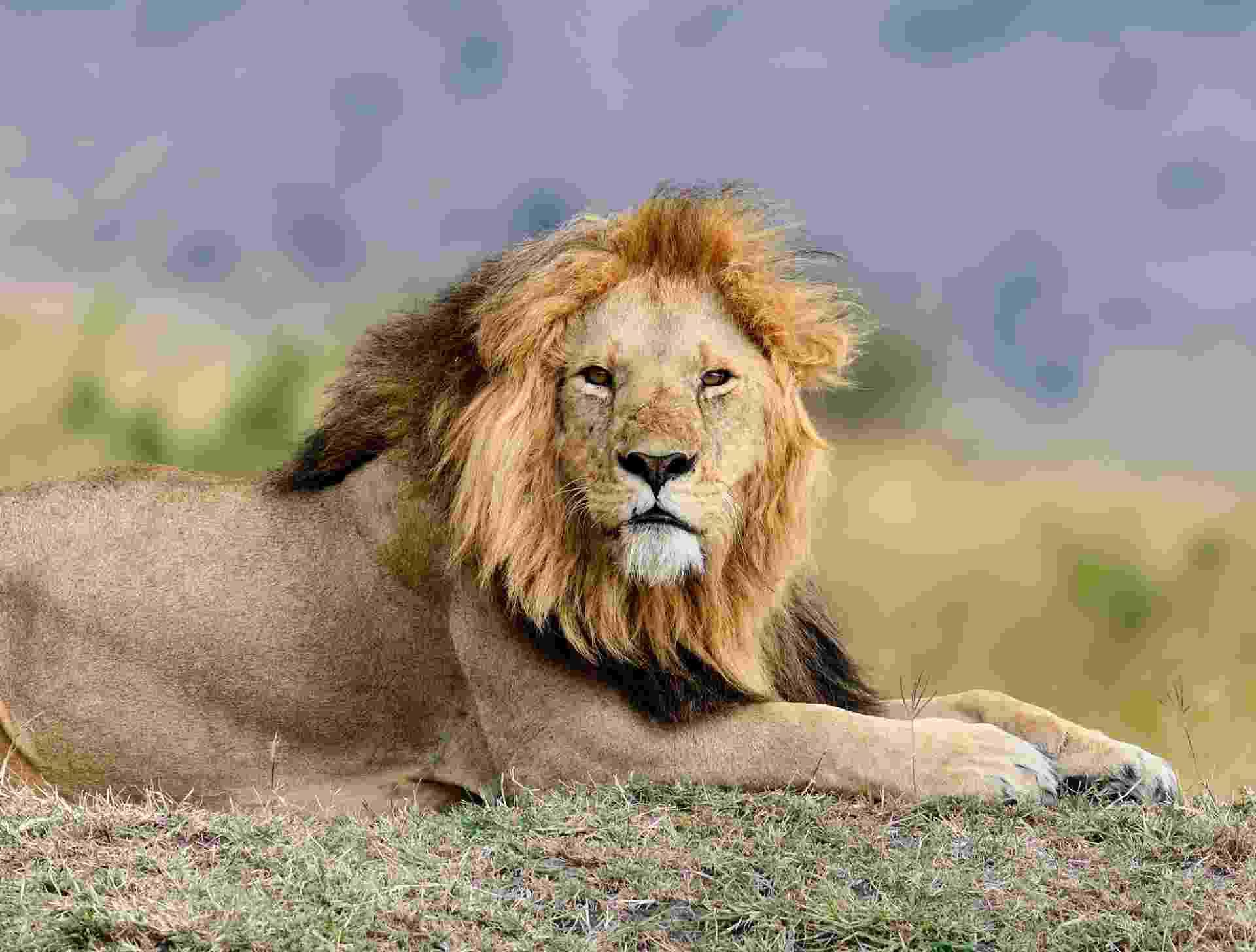 Leão; Imposto de Renda - iStock