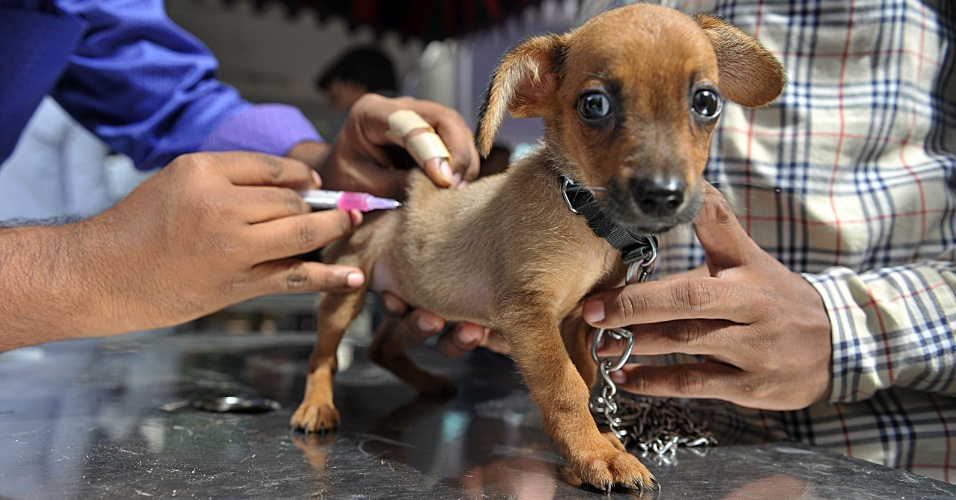 6.jul.2016 - Filhote de cachorro recebe vacina antirrábica grátis em hospital veterinário do governo da Índia em Hyderabad, na região central do país. Uma organização está vacinando animais da cidade gratuitamente nesta quarta, por conta do Dia Mundial da Zoonose