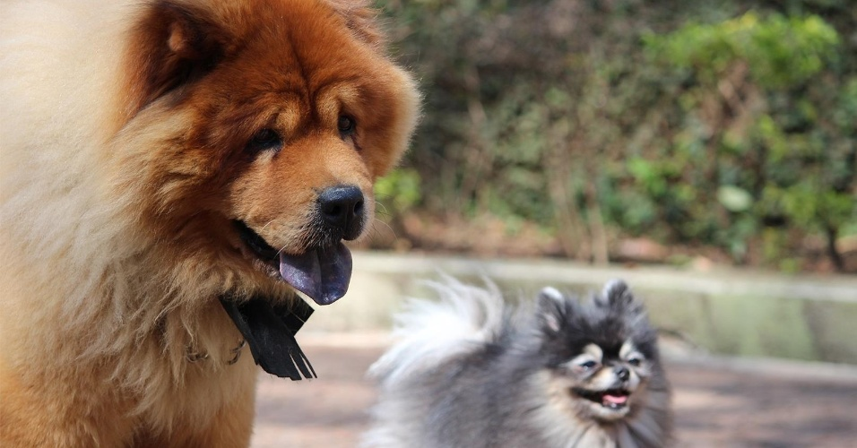 Pet Model Brasil Chow Chow