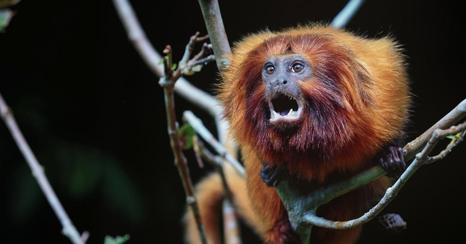 19.abr.2017 - Registro do mico-leão-dourado na Reserva Biológica Poço das Antas