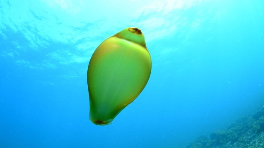 A cápsula de ovo do tubarão foi flagrada na região Ressurreta, na Ilha Rata - Renato Magalhães/Ciliares/Divulgação