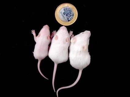 Ratos vendidos como alimento para bichos domésticos pela Répteis Brasil