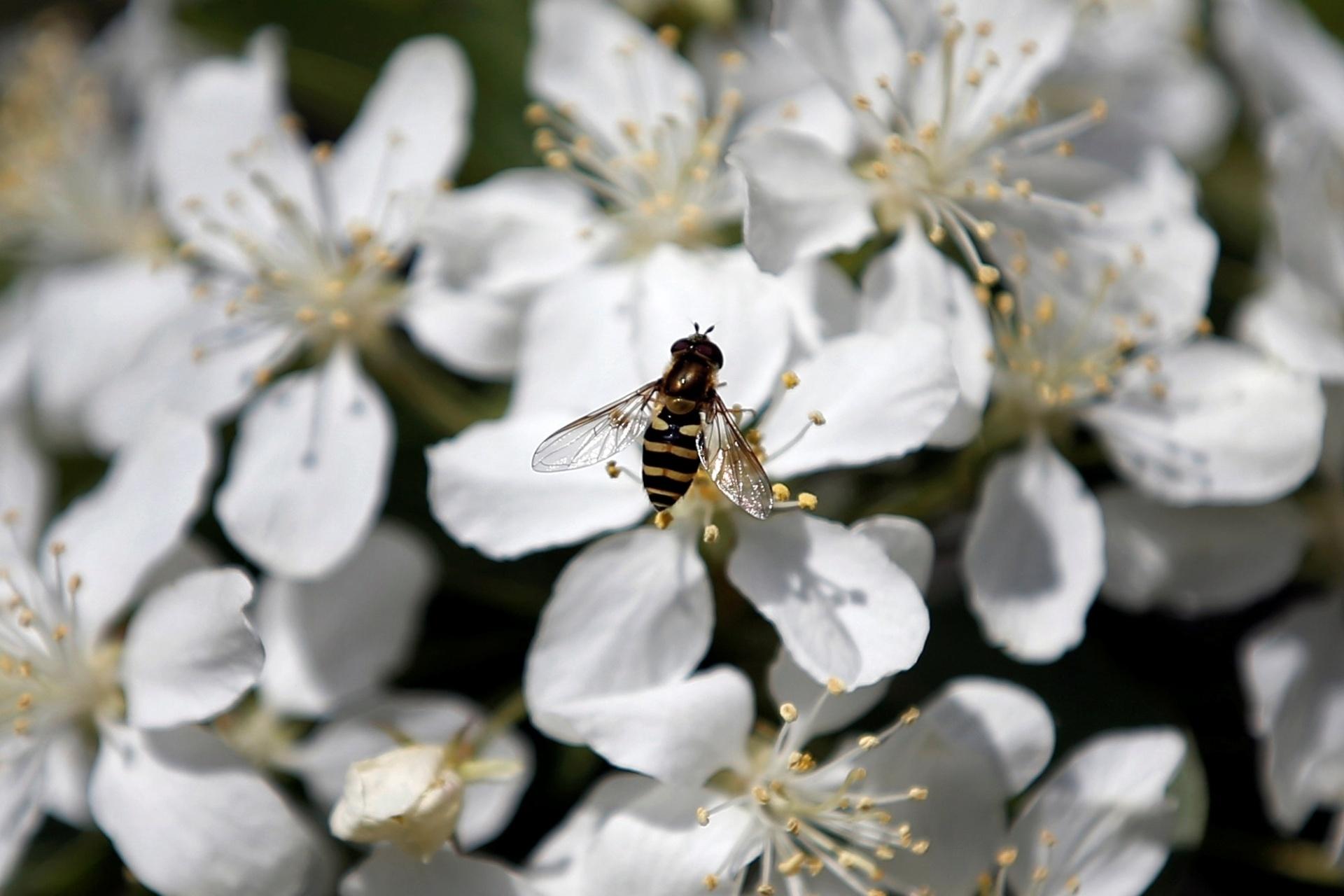 21.abr.2016 - Abelha voa sobre flores que desabrocham no Riverside Park, na cidade de Nova York (EUA)