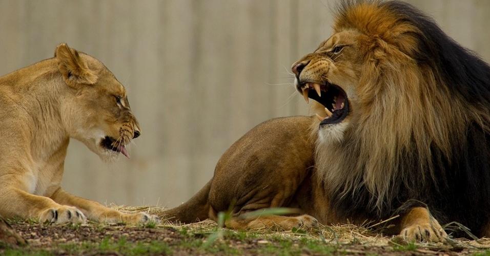 Leão e leoa ficam juntos no zoológico de Washington, EUA. Graças às grandes laringes, os leões tem o rugido mais alto entre os felinos, podendo ser ouvido há quilômetros de distância