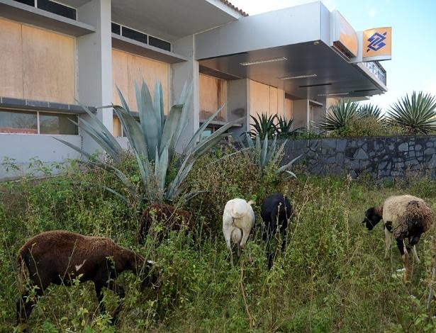 Carneiros e bodes pastam em frente a agência abandonada em Major Isidoro (AL)