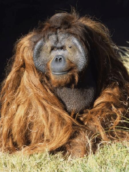 Ken Allen, orangotango do Zoológico de San Diego - Reprodução/Twitter/@PrepSportsPlus
