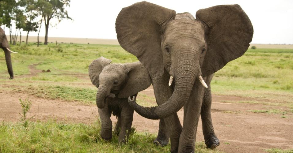27.jul.2016 - Um jovem elefante macho e um filhote no Quênia. As grandes orelhas dos elefante os ajudam a dissipar o calor e manter a temperatura, além de servir como comunicação visual