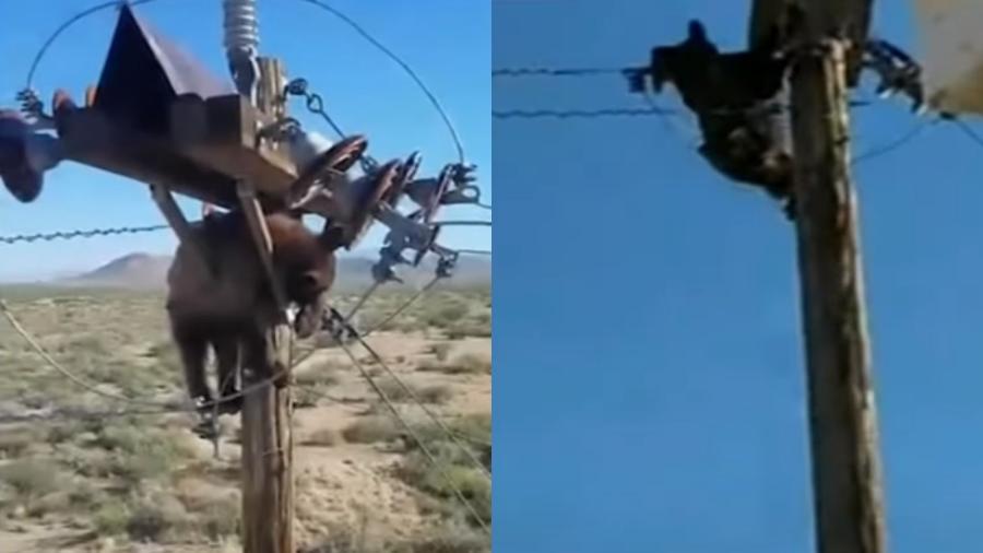 Um urso subiu em cima de um poste de energia na cidade de Willcox, no Arizona (EUA) - Reprodução/6abc Philadelphia/Youtube