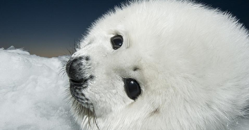 13.dez.2015 - Um filhote de foca-da-groenlândia (Pagophilus groenlandicus) repousa sobre bloco de gelo no Golfo de São Lourenço, no leste do Canadá. Quando crescer, terá entre 1,5 m e 2 m de comprimento e pesará mais ou menos 130 kg. A foca-da-groenlândia é conhecida por fazer viagens longuíssimas, de até 2,5 mil km
