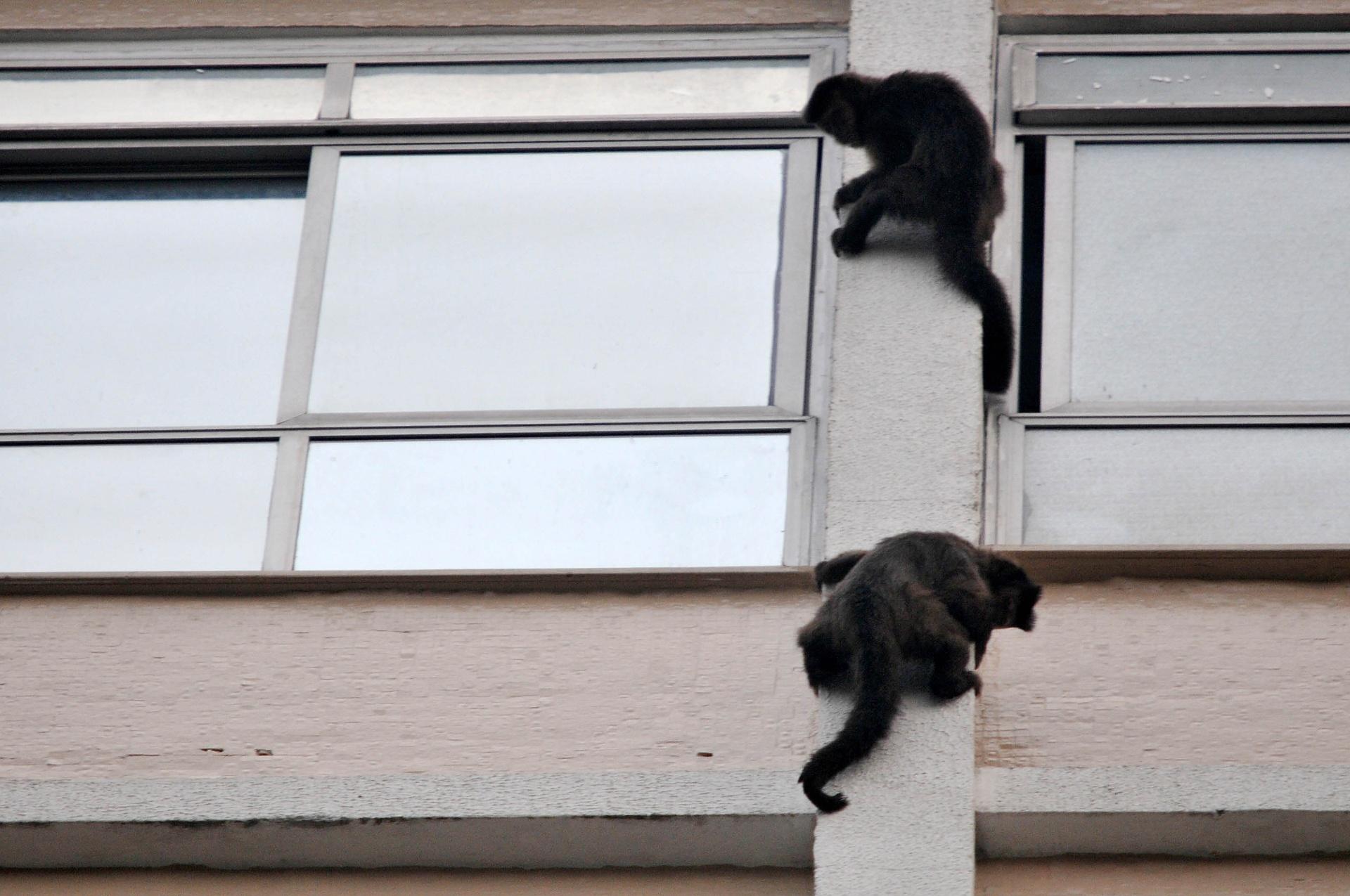 24.jun.2016 - Macacos prego invadiram o Instituto Estadual de Cardiologia, na zona sul do Rio de Janeiro, em busca de comida. Em bando, os animais subiram nas paredes do instituto para entrar nos apartamentos de pacientes em tratamento. Segundo funcionários, as invasões são constantes