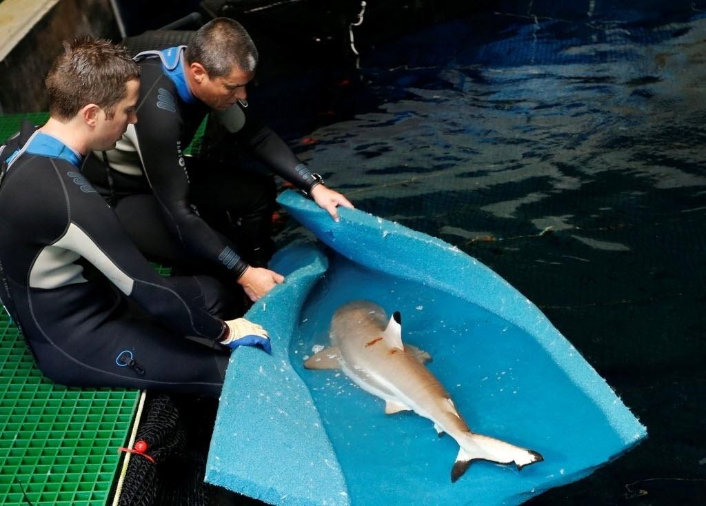 6.jul.2016 - Biólogos transferem um tubarão fêmea grávida para uma piscina privada onde ela será preparada para ter filhotes no aquário de Paris, na França