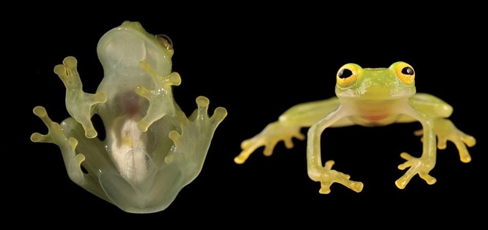Uma nova espécie de perereca-de-vidro, anuro do gênero Hyalinobatrachium, foi descoberta recentemente nas terras amazônicas do Equador. Batizada de Hyalinobatrachium yaku, o anfíbio, assim como outros membros da família Centrolenidae, tem como característica marcante a pele translúcida