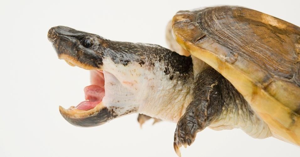 24.nov.2015 - A tartaruga almiscarada mexicana é consideravelmente maior que outros membros da família, medindo até 40 cm. As tartarugas são conhecidas pelo cheiro que o casco exala