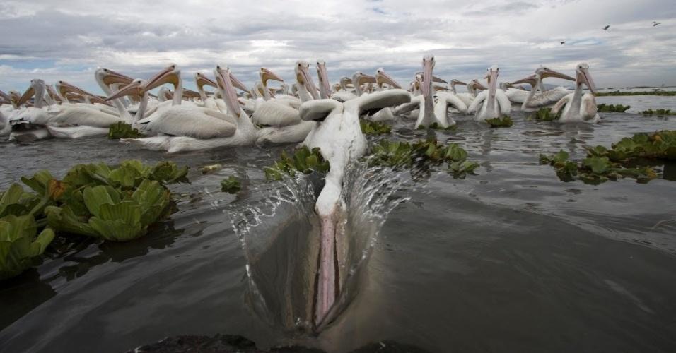 5.jan.2016 - Um pelicano-branco mergulha para beber água do lago de Chapala em Cojumetlan de Regules, no México. Milhares de pelicanos migram dos Estados Unidos e Canadá para o México durante o inverno