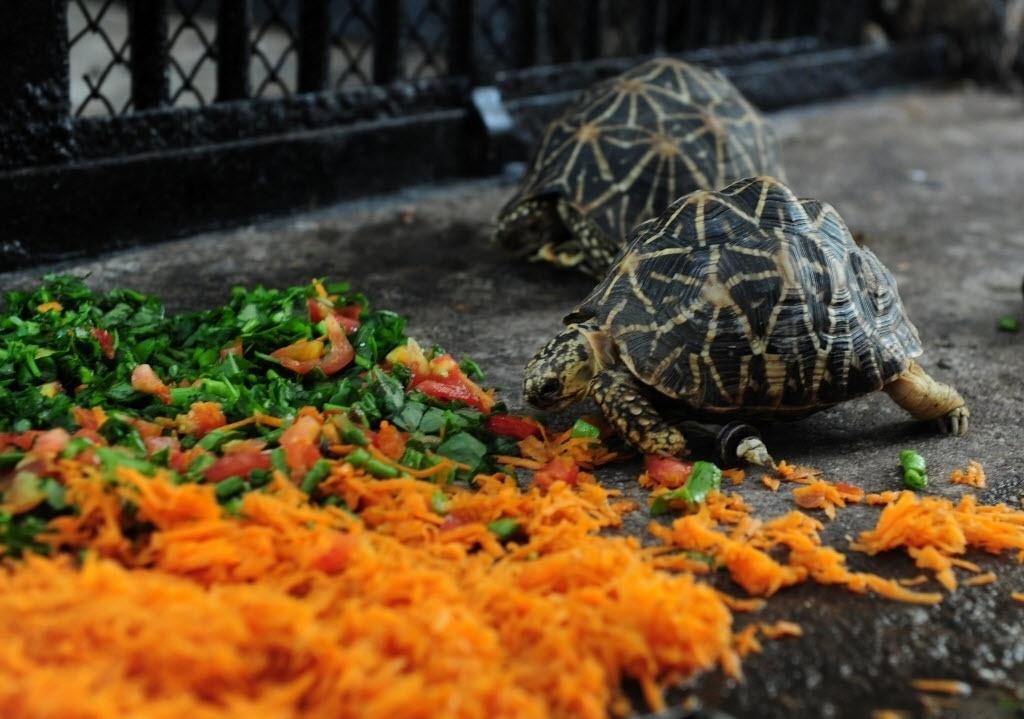 16.jun.2016 - Uma tartaruga-estrelada-indiana usa uma prótese para andar, no parque Arignar Anna, um zoológico, em Chennai, na Índia. A tartaruga foi mordida por um mangusto e perdeu uma das patas da frente. O animal foi submetido a uma operação que durou cerca de 30 minutos que colocou rodinhas na parte inferior do casco