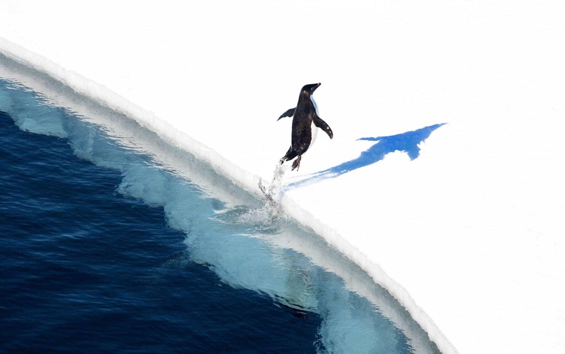 CASACO QUENTINHO - Os pinguins são adaptados para sobreviverem em climas muito frios. Os imperadores suportam temperaturas de até -50 °C e ventos de até 200 km/h. Isso porque possuem duas camadas de penas e uma boa reserva de gordura. Os pés também são adaptados ao gelo. Pinguins costumam viver em colônias, nas quais acasalam e criam seus filhotes. Quando o frio aperta, é comum ver o grupo bem juntinho