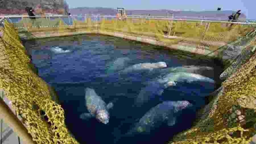 Locais em que as belugas estão sendo mantidas colocam saúde dos animais em risco - Getty Images/BBC