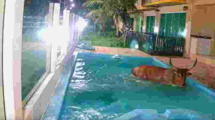 Animal caiu em piscina de pousada durante Farra do Boi, considerado ilegal desde 1997 - Divulgação/GOR - Divulgação/GOR