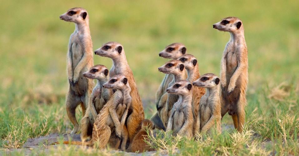 Todos juntos. Uma família de suricatas fica em alerta à entrada de sua toca. As suricatas fazem suas casas em tuneis com até 50 espécimes entre núcleo familiar e parentes