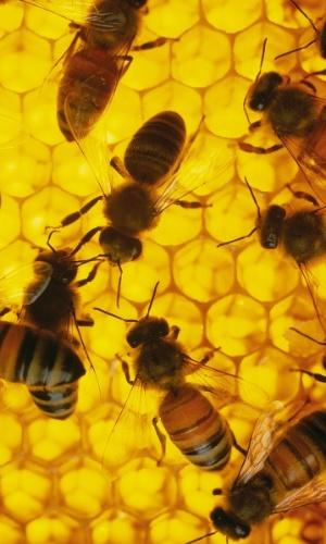 16.ago.2016 - Fazendo mel em uma colmeia. Três tipos de abelha ? operária, zangão e rainha ? trabalham juntos para manter o zumbido na colmeia