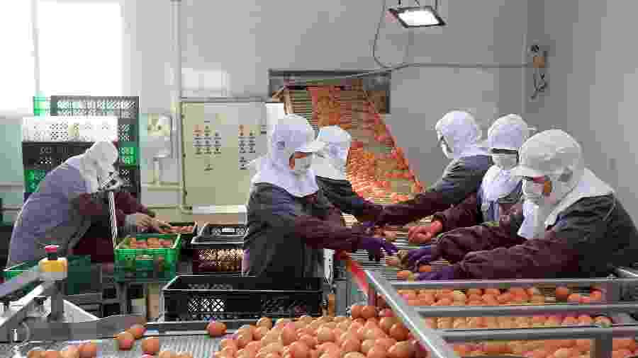 Trabalhadores usando máscaras selecionam ovos em uma fábrica de Rongcheng em meio ao surto de coronavírus - STRINGER