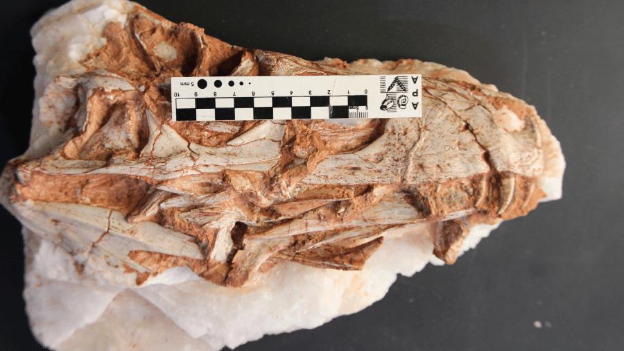 Fóssil do Gnathovorax cabreirai. Guinness publicou ontem o recorde reconhecendo a região de Santa Maria como o berço dos mais antigos dinossauros do mundo. - Projeto Dinorigin