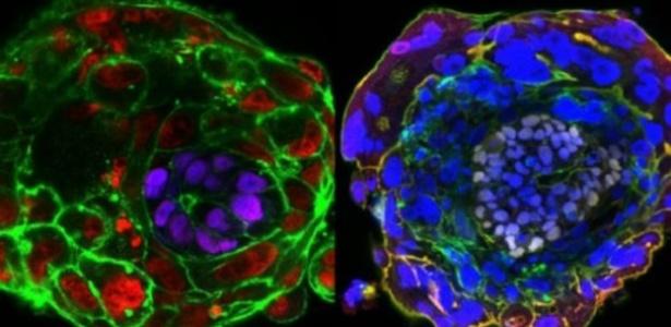 Á esquerda em roxo e à direita em lilás, o epiblasto que se desenvolve no embrião