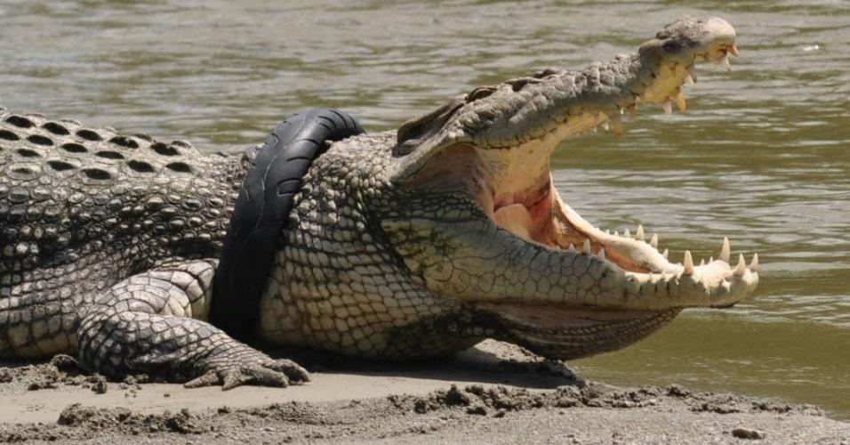 20.set.2016 - Crocodilo fica com o pescoço preso em um pneu de moto em Palu, na província de Sulawesi, na Indonésia. O pneu provavelmente foi descartado no rio onde vivem os crocodilos após ficar sem uso