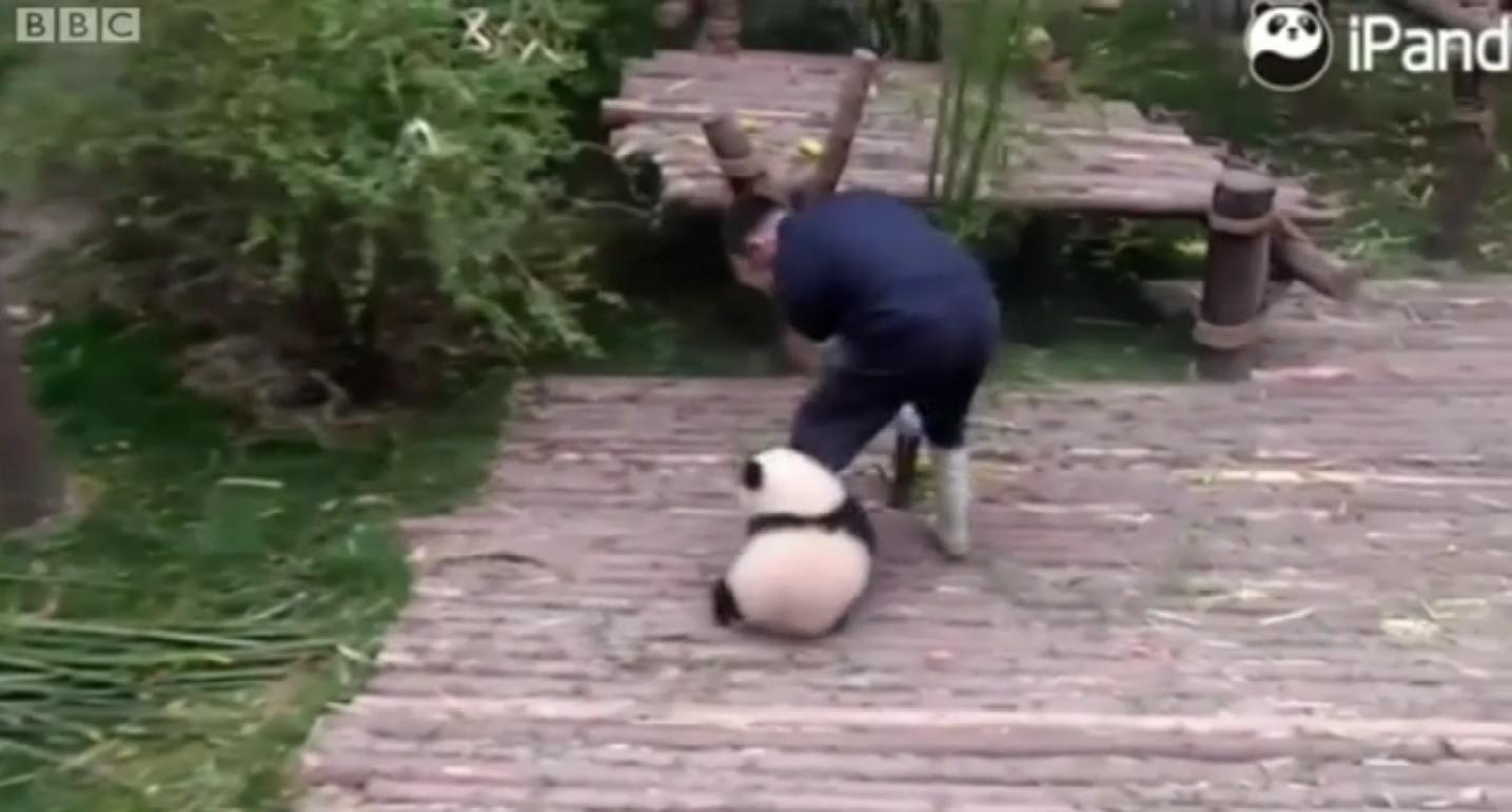 27.fev.2016 - Um vídeo da filhote de panda Qi Wi viralizou nas redes sociais, já tendo sido visualizado mais de 160 milhões de vezes no Facebook. Nas imagens, ela agarra a perna de seu tratador por diversas vezes.  Qi Wi vive em um centro de preservação de pandas-gigantes na província de Sichuan, no sudoeste da China.