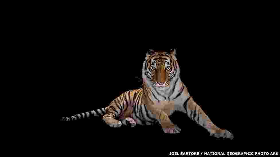 2.nov.2015 - O fotógrafo americano Joel Sartore é o fundador do projeto Photo Ark, da National Geographic. A ideia é retratar animais ameaçados antes que eles desapareçam. Um dos exemplos é este tigre-de-bengala, clicado no zoológico americano Alabama Gulf Coast Zoo - Joel Sartore/National Geographic
