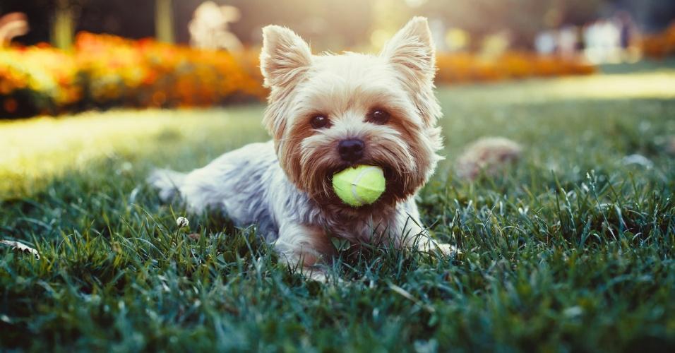 Cachorro, cão, yorkshire