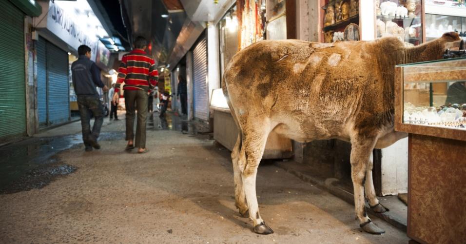 Só olhando. Uma vaca é um cliente incomum --mas uma visão comum-- nos becos de Rishikesh, Índia. A maioria dos estados indianos proíbe o abate bovino, porque eles são sagrados no hinduísmo