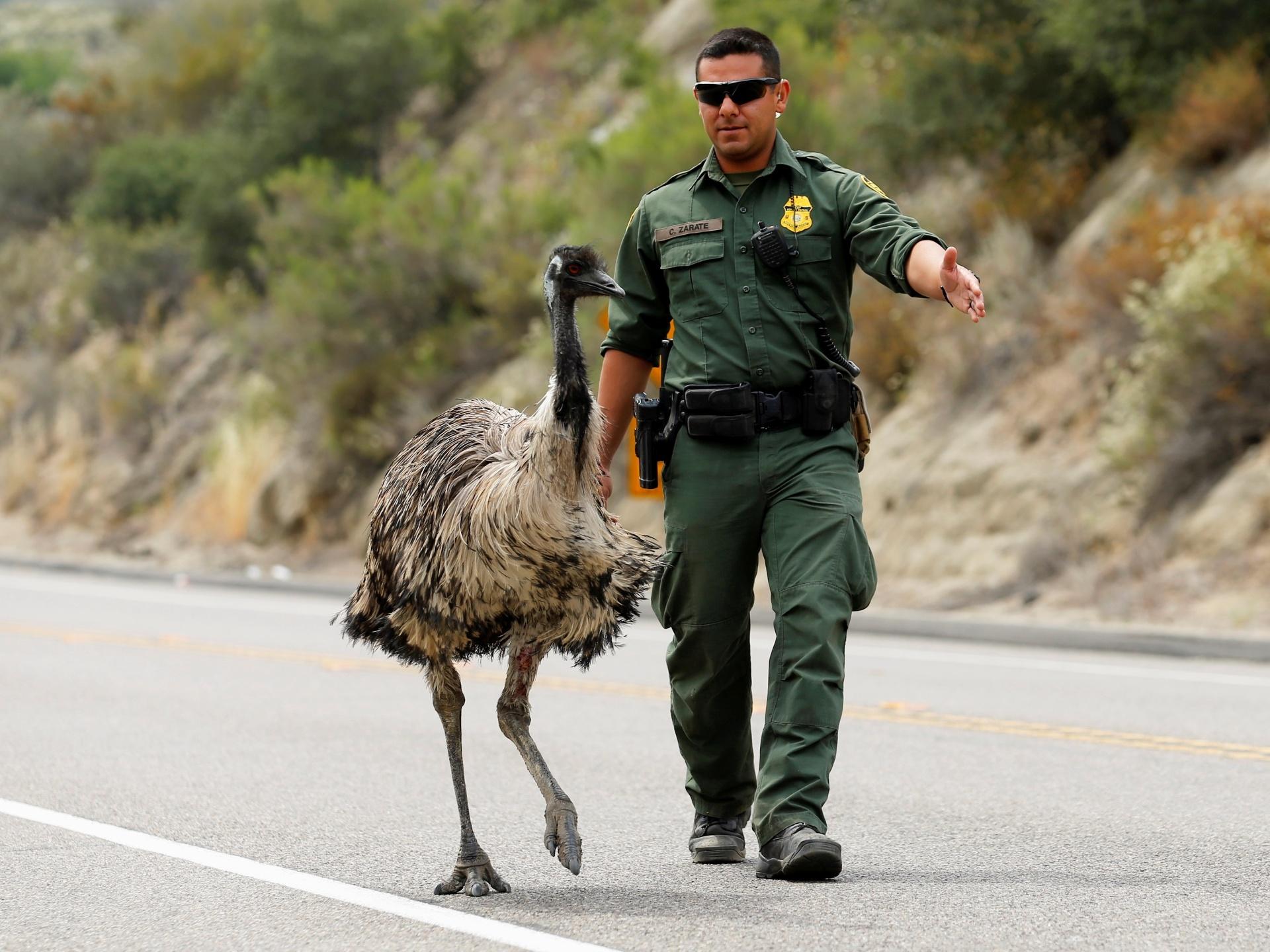 21.jun.2016 - Um oficial de fronteira dos Estados Unidos tenta tirar um avestruz da estrada durante um incêndio florestal na fronteira com o México, em Potrero, Califórnia (EUA)