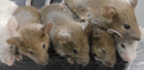Cientistas afirmam ter criado ratos saudáveis a partir de óvulos feitos em laboratório, usando apenas células da pele dos animais