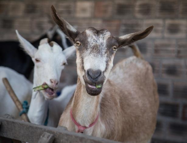 Criações de bodes e ovelhas aumentam no Nordeste