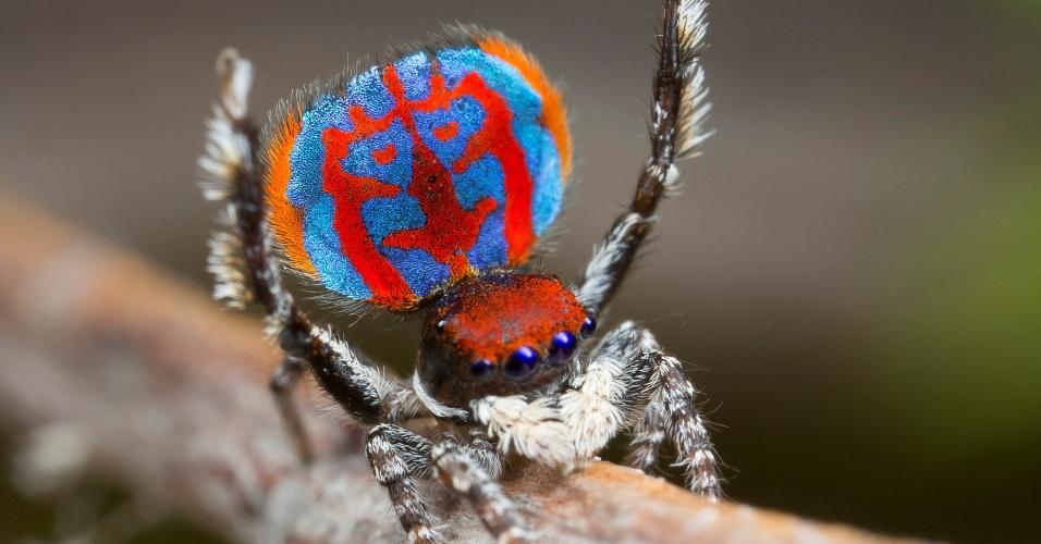 6.jun.2016 - Espécie recém descoberta de aranha-pavão australiana mostra seu abdômen colorido