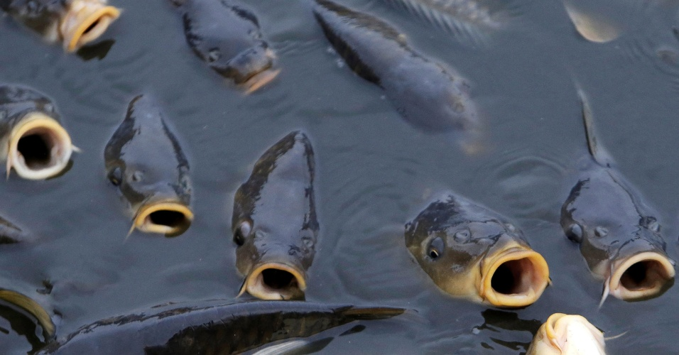 25.out.2016 - Peixes são vistos em uma lagoa durante o tradicional pesca da carpa perto da aldeia de Belcice, na República Tcheca