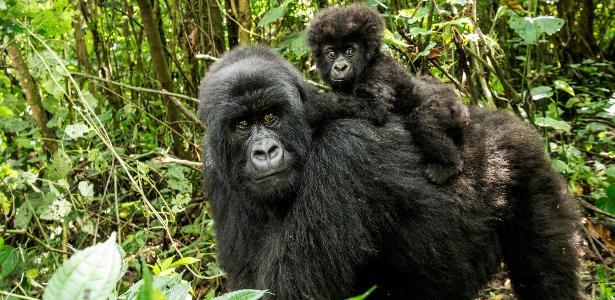 Mãe e bebê gorila-das-montanhas na República Democrática do Congo. Espécie passou do status de criticamente ameaçada para ameaçada de extinção
