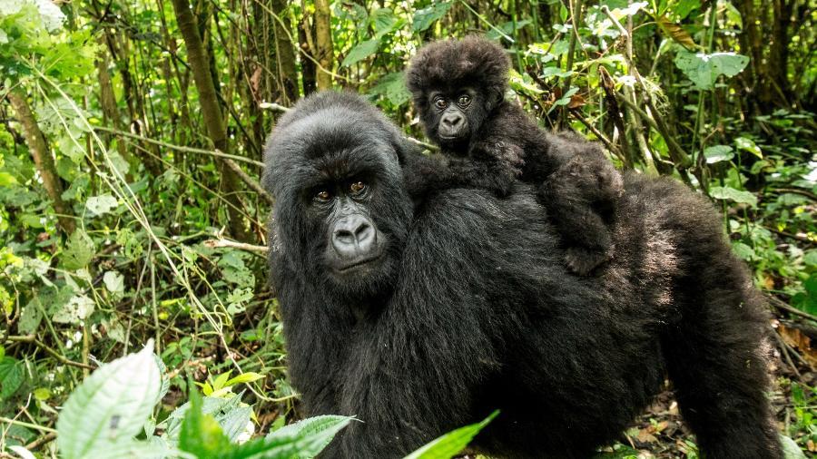 Mãe e bebê gorila-das-montanhas na República Democrática do Congo. Espécie passou do status de criticamente ameaçada para ameaçada de extinção - Getty Images