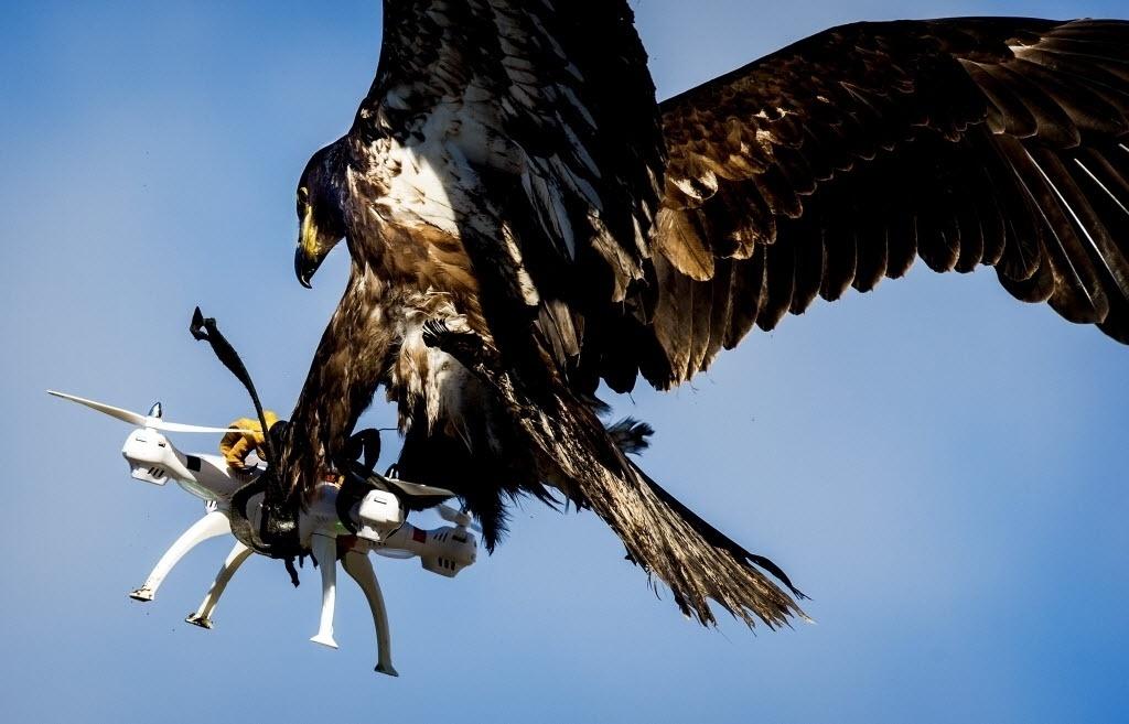 7.mar.2016 - Uma águia participa de um exercício da polícia para capturar drones em Katwijk, Holanda. Uma empresa holandesa treina aves de rapina para  interceptar drones incômodos