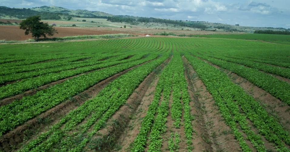 Plantação de cenoura da Nestlé