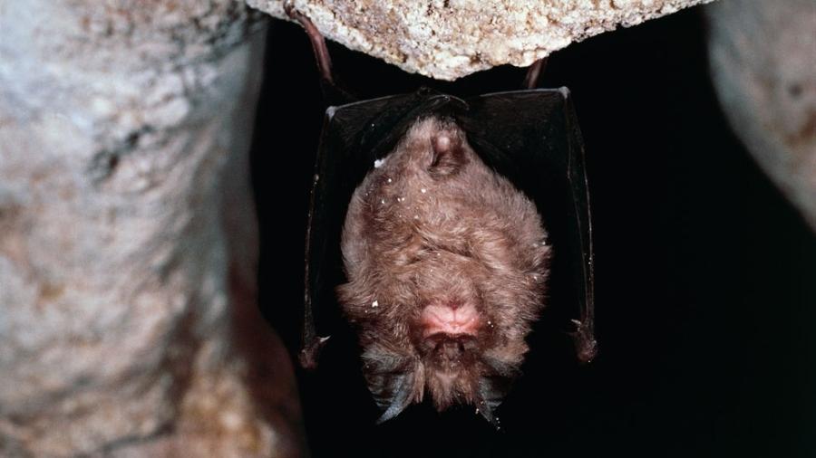 O morcego-de-ferradura-grande chinês (Rhinolophus ferrumequinum) é considerado o principal suspeito de ser a origem do surto de coronavírus - Getty Images