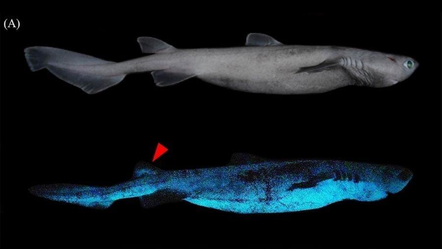 Cientistas acreditam que tubarões usam habilidade para atrair e fugir de presas - Reprodução/Frontiers in Marine Science