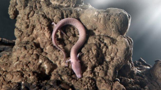 29.fev.2016 - O proteus nada como uma enguia e pode passar dez anos sem comida. Em uma caverna visitada por um milhão de turistas todos os anos, esse anfíbio pouco estudado colocou ovos que estão causando grande expectativa