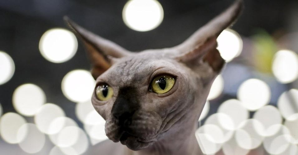 6.mar.2016 - Um gato Sphynx, conhecido por não ter pelos, participa do show de felinos Catsburg 2016 International em Moscou, na Rússia