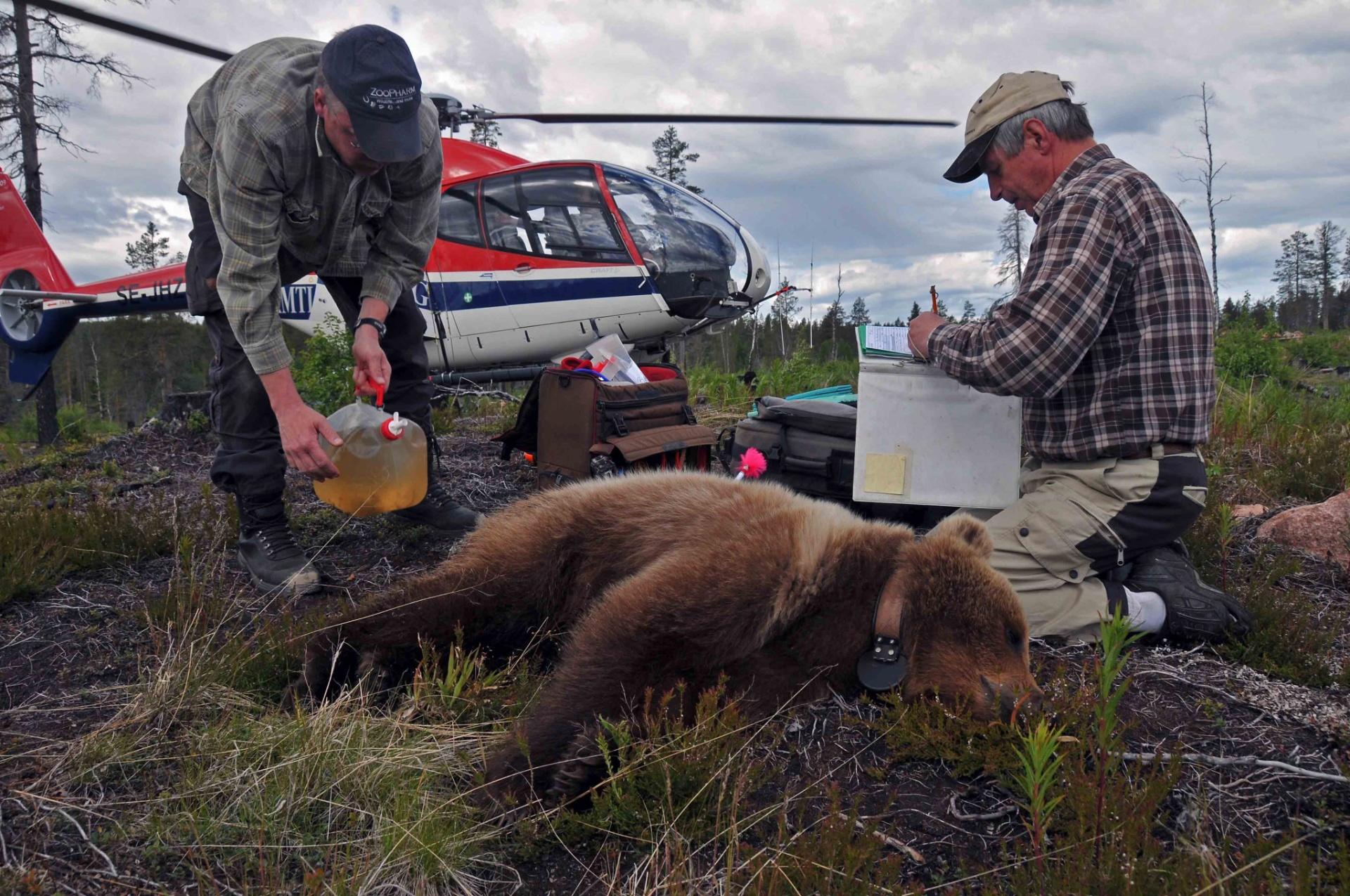 6.jul.2016 ? O veterinário de animais selvagens Jon Arnemo (à esq.) e o pesquisador Sven Brunberg (à dir.), analisam um urso adolescente anestesiado. Estudos sobre a hibernação dos ursos podem ajudar em pesquisas sobre diabetes e obesidade humana