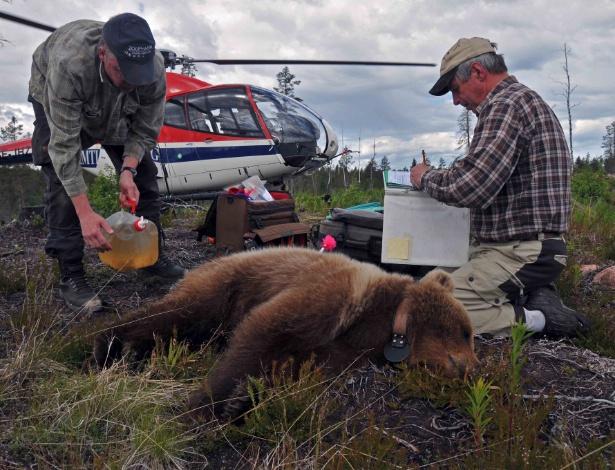 O veterinário de animais selvagens Jon Arnemo (à esq.) e o pesquisador Sven Brunberg (à dir.), analisam um urso adolescente anestesiado