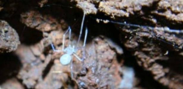 Aranha da nova espécie Ochyrocera atlachnacha tece sua teia; nome faz menção a personagem do Universo fantástico de H.P. Lovecraft
